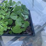 Planting Bean and Pea Seedlings